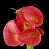 Flower 033e (Daisy)