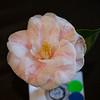 """Sanasa"" camellia;"