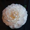 """""""Sea Foam"""" Camellia"""