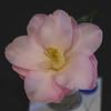 """""""Magnoliaeflora"""" Camellia"""