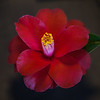 """Red Hat"" Camellia"