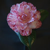 """Kay Berridge"" Camellia"