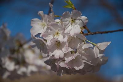 campus cherries