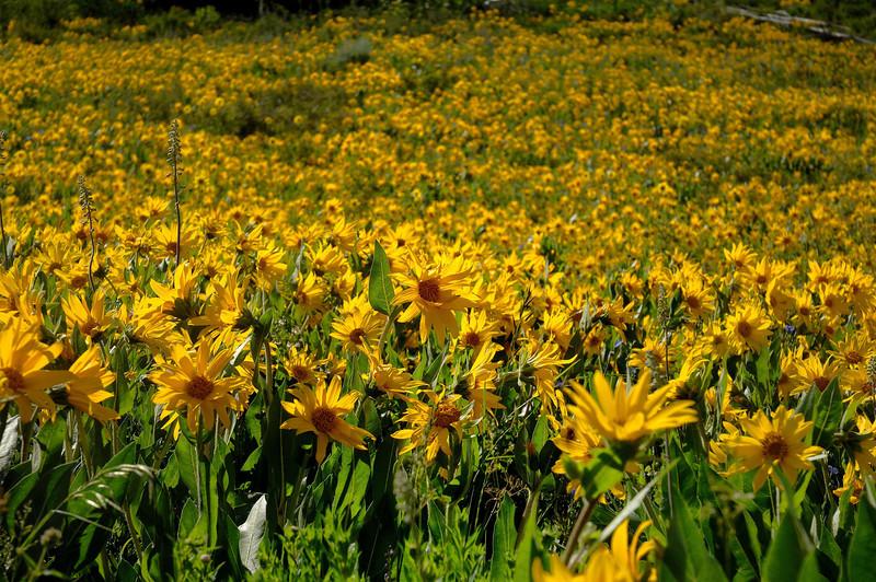 Sea of Sunflower