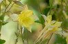 Yellow Columbines