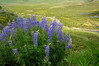 East River lupines