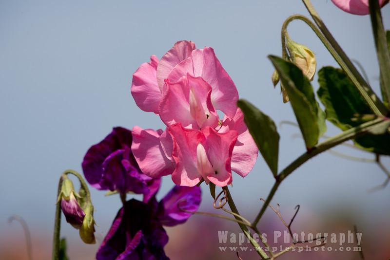 Frangrant Sweet Pea Blossom