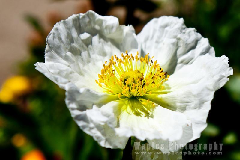 White Iceland Poppy