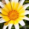 African Daisy Varietal