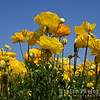 Yellow Ranunculus and Blue Sky