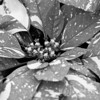 Pointsettia Variegation, B&W