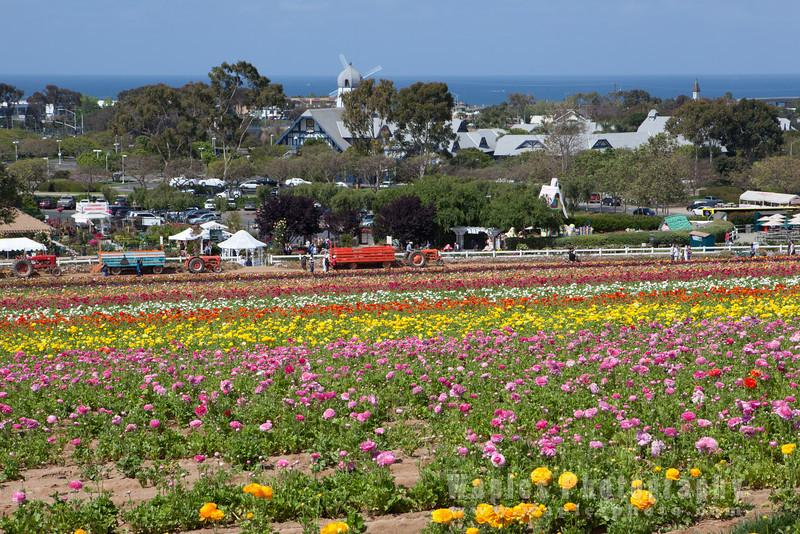 Flower Fields by the Ocean