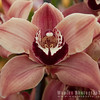 Beautiful Cymbidium Orchid