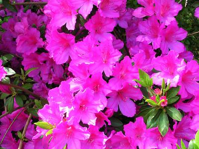 carolina azalea flower