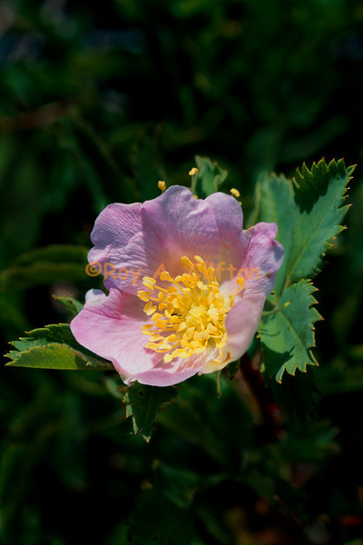 (030231) Wood Rose near Frog Lake