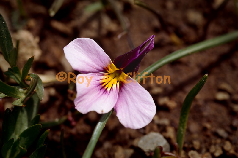 (951004) Western Pansy Violet