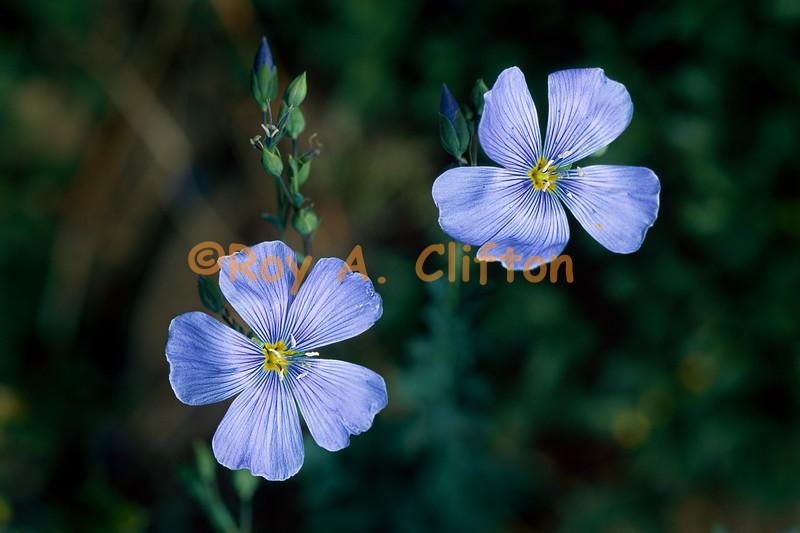 (030323) Blue Flax
