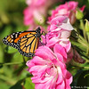 A beautiful male Monarch Butterfly drying his wings on an Iceberg rose.  This Monarch was born in my garden on October 4, 2015.