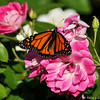 A beautiful female Monarch Butterfly drying her wings on an Iceberg rose.  This Monarch was born in my garden on October 4, 2015.