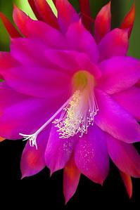 Fuchsia Fantasy  Epiphyllumpurplish-red Heliocereus speciosus