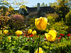 """Chanticleer: daughter's house in background. Tulips in the """"tennis court"""" gardens."""