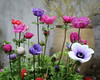 Potted Anemones