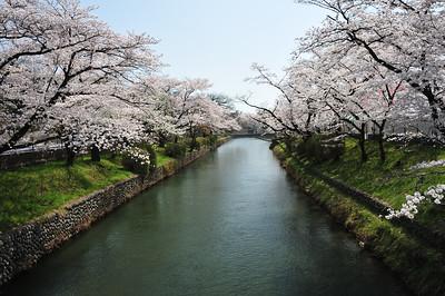 Cheery blossoms at Hamura sluice (羽村堰)