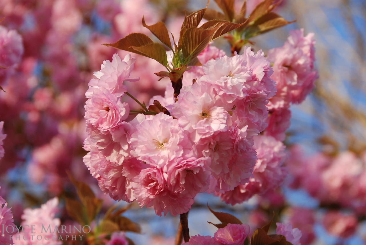 Cherry Blossoms -- DSC_0559