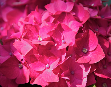 Rose colored hydrangeas are beautiful too!