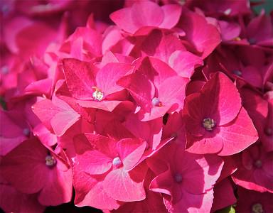 Rose colored hydrangeas are beautiful too!