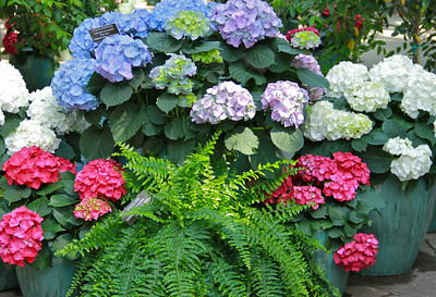 Hydrangeas and ferns.