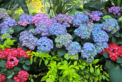 We went into the U.S. Botanical Gardens and this is what we found...colorful hydrangeas everywhere.