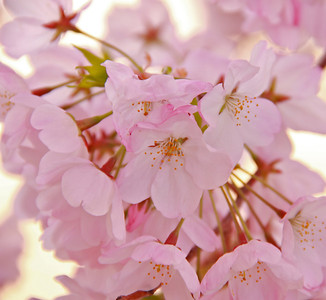 A beautiful close-up of the dainty petals of the cherry blossoms.