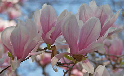 Tulip tree blossoms!