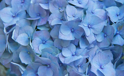 Isn't the blue hydrangea just beautiful?