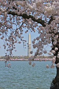 Cherry blossoms and the Washington Monument.