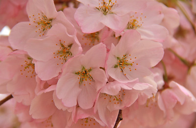 Some of the blossoms are white and some are pink.
