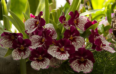 Variegated orchids...