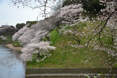 Cherry blossoms around the palace