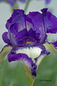 Closer view of the bearded Iris