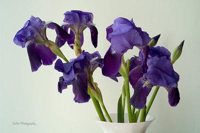 A Bouquet of Irises