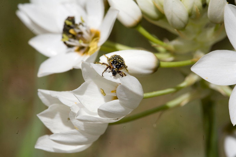 Ornithogalum thyrsoides, or chincherinchee, with common dotted fruit chafer