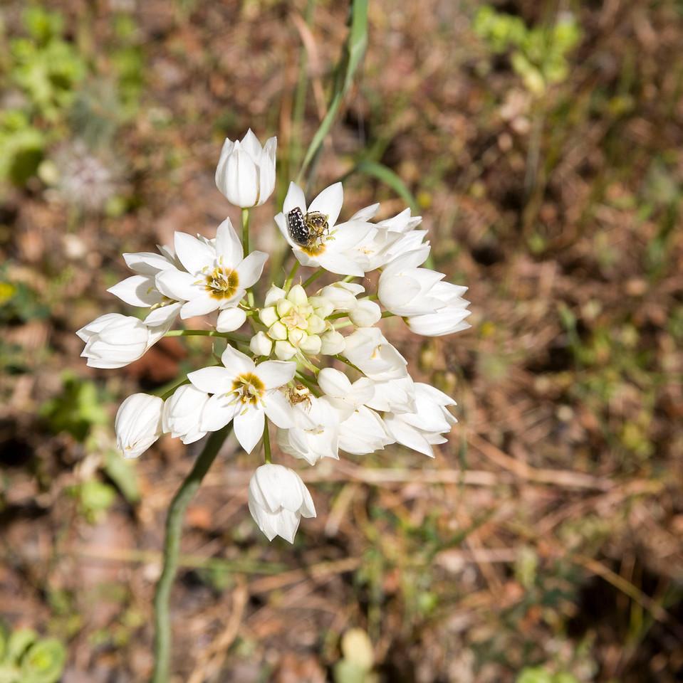 Ornithogalum thyrsoides, or chincherinchee