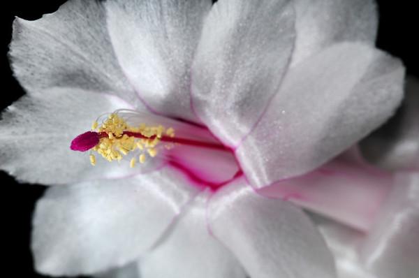 white Christmas cactus blossom