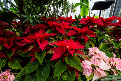 Christmas Flower Show 2015 - January 9, 2016