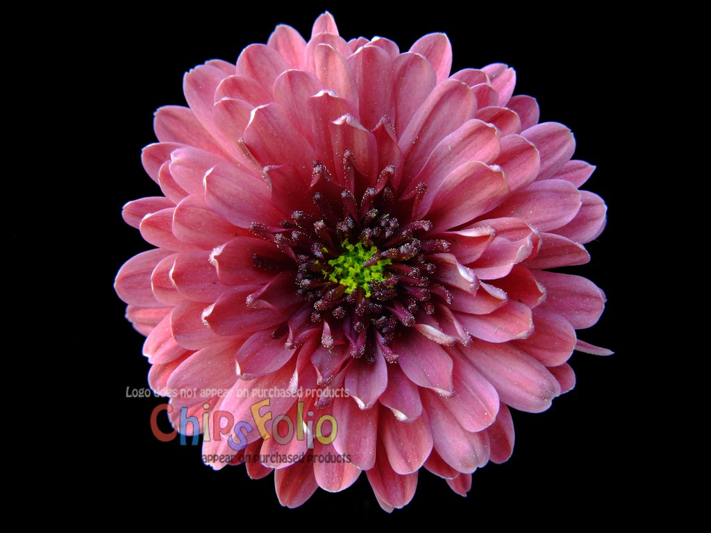 Chrysanthemum 02    Version B