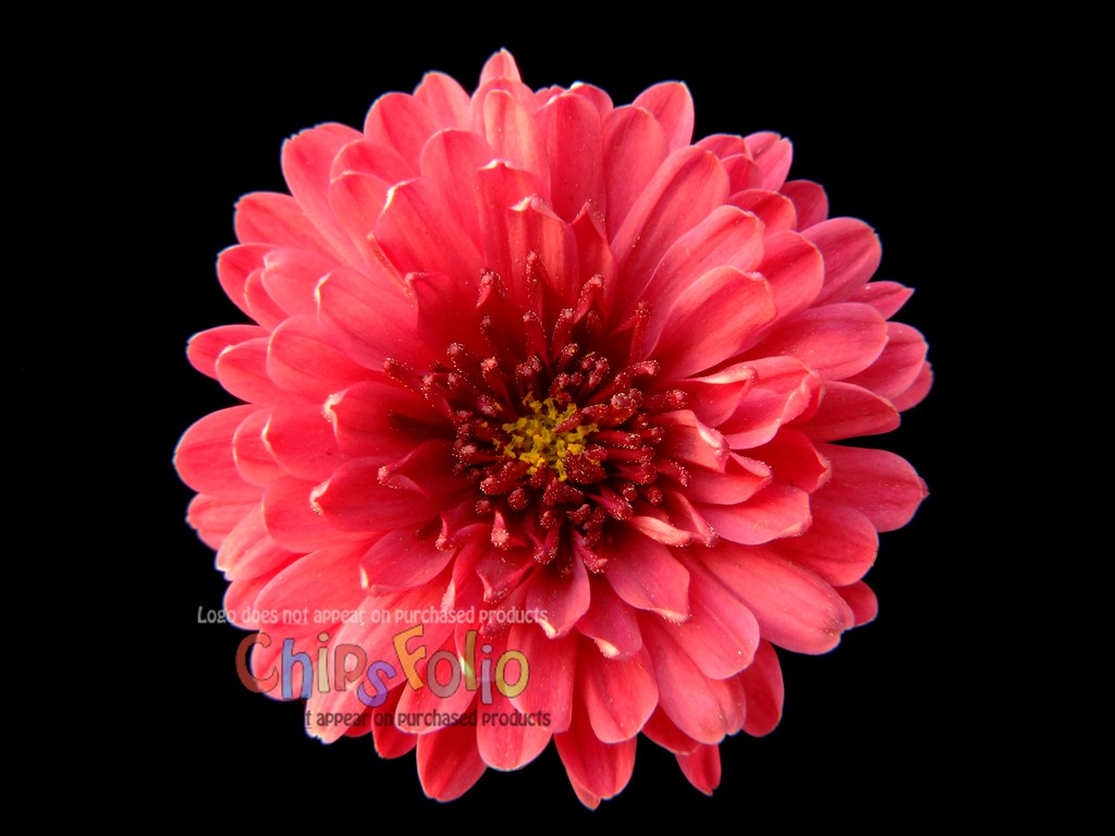 Chrysanthemum 02   Version A