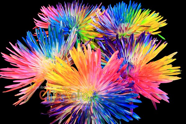 Five Wildly-Colored Spider Mums in a Vase