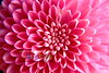 Chrysanthemum-Up-Close