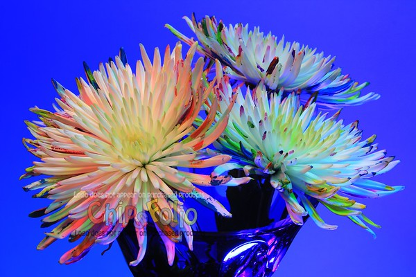 Painted Spider Mums in a Crystal Vase
